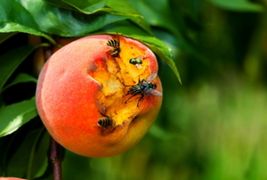 A peach rotting on the tree attracts insects.
