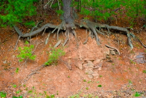 The exposed roots of an overturned tree.