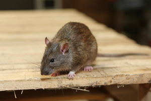A rat on a piece of wood.