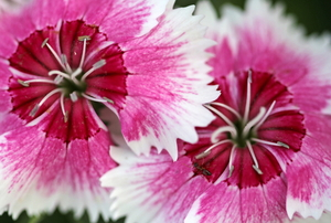 pink and white dianthus blossoms