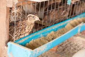Quail in a wire cage looking into their feeding trough with grain in it.