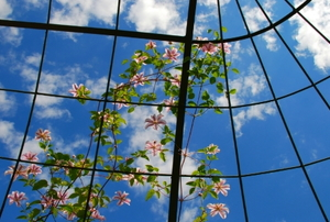 Flowers of Clematis in front of a blue sky climbing a trellis to reach the sun
