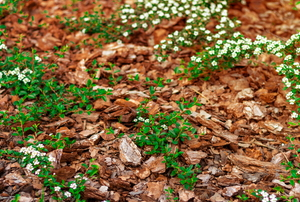 mulch among small white flowers