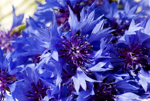 A batch of blue cornflowers.