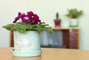 An African violet in a green container with other plants in the background.