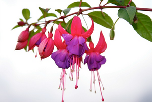 purple and hot pink fuchsia flowers on a vine