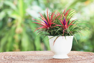 Air plants with purple and red blooms in a white vase.