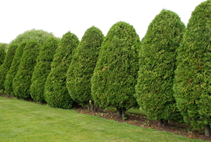 a row of pruned American Arborvitae