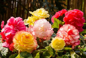 colorful begonias