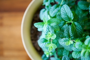 A healthy green mint plant growing in a small planter.