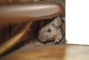 scared mouse hiding in a corner