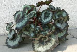 A begonia plant.