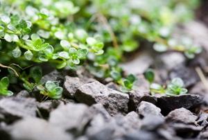 Wild thyme in a rock garden.