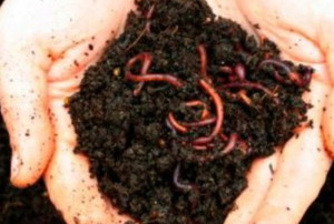 two hands holding dirt with worms in it