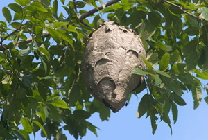 Beehive in a tree