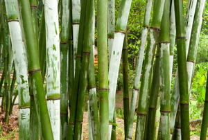 Green bamboo growing outside