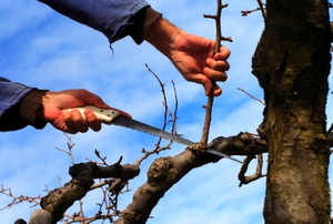 Pruning a redundant branch off a tree in winter.