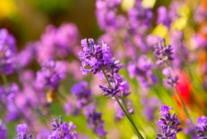 Lavender flowers bloom in a large group.