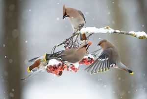 Birds eating berries from a tree in winter
