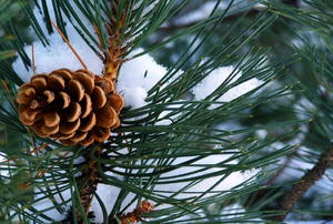 A close-up of a pinecone on a snow-covered branch.
