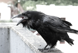 A big ugly raven perched on you balcony wall.