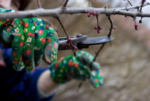 Pruning a tree with hand pruners.