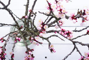 Blossoming tree branches in a vase against a white background.