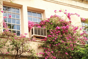 A small window unit being taken over by a climbing plant.