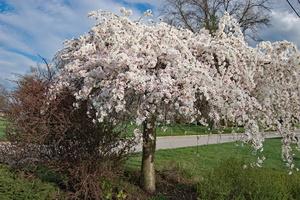 Weeping Cherry Tree Pruning