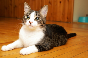 How to Remove Cat Urine Odor from Wood Floorboards
