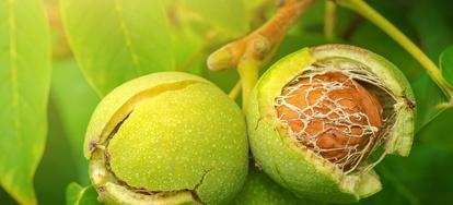 Walnut Tree Transplanting Tips | DoItYourself com