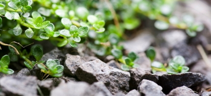 Thyme, the Herb of Courage   DoItYourself com
