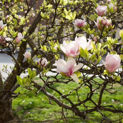 Caring For A Magnolia Tree Doityourselfcom