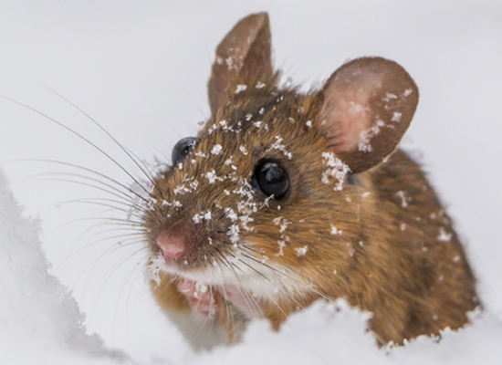 cute mouse in snow