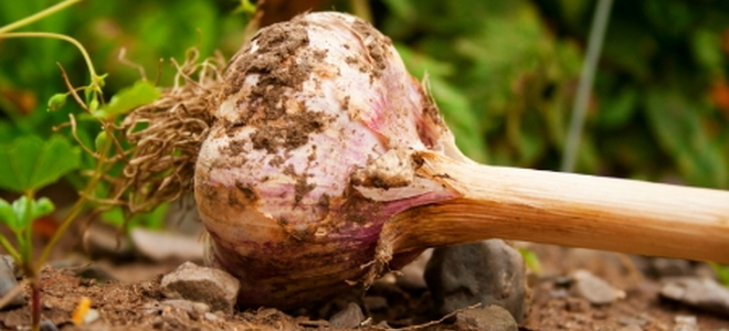 garlic as pesticide Garlic is a natural insect repellent, and with a bit of doctoring it makes an effective , inexpensive and nontoxic pesticide.