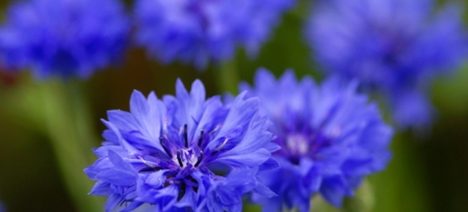 10 Winter Annual Plants And Flowers Doityourself Com