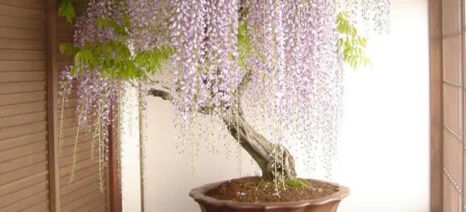 Giant wisteria bonsai plant