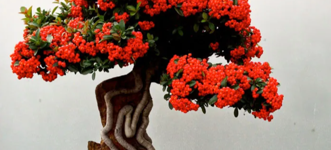 A cross bred bonsai tree with beautiful red flowers