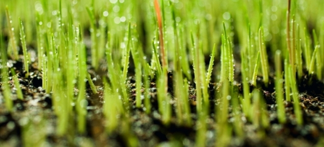 Planting Perennial Ryegrass Seeds Doityourself Com
