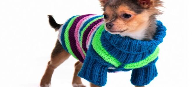 A little dog in a little sweater.