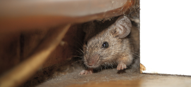 How To Get Rid Of Mice In Your Attic Doityourself Com