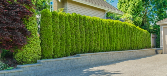 a hedge row in a driveway