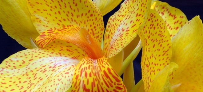 Identifying and treating canna lily diseases doityourself identifying and treating canna lily diseases identifying and treating canna lily diseases mightylinksfo