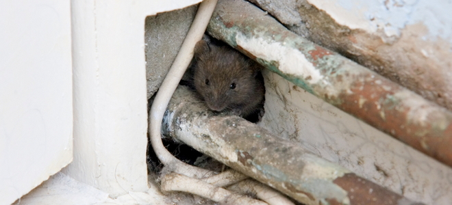 Humanely Deterring Pests From Your Attic In 5 Steps