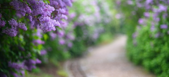 How To Create A Border With Lilac Bushes Doityourself Com