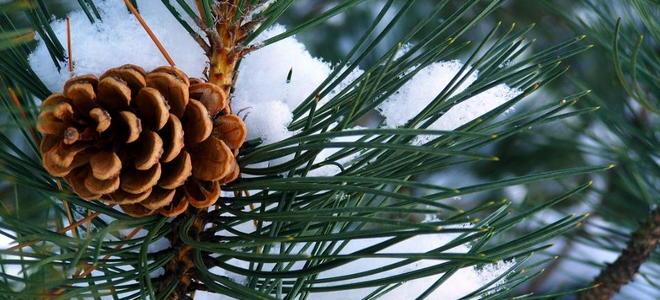 how to grow christmas trees how to grow christmas trees - How To Grow Christmas Trees