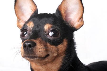 How To Clean A Dog S Ears Doityourself Com