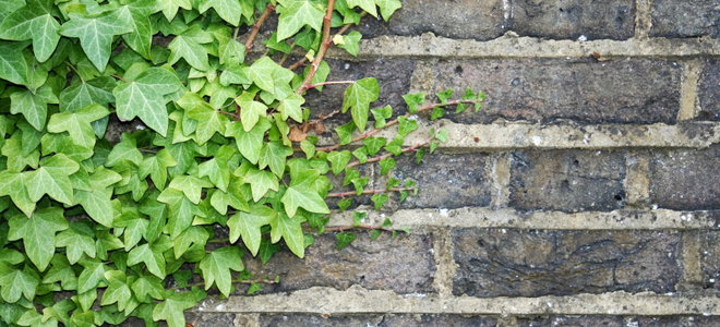 How To Control Ivy Climbing On Walls Doityourself Com