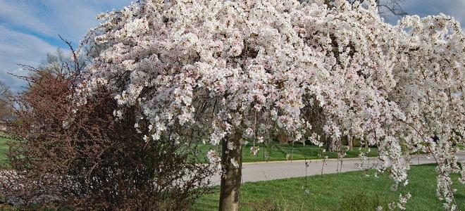 Weeping Cherry Tree Pruning Doityourself Com