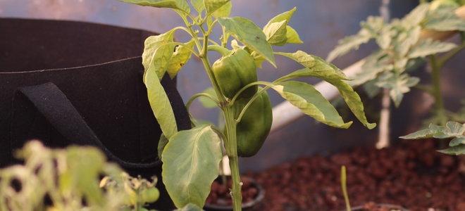 aquaponic green pepper